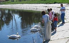 Новозыбков. Лебеди на городском пруду