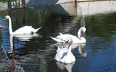 Новозыбков. Лебеди на пруду
