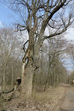 Ещё одно очень старое дерево