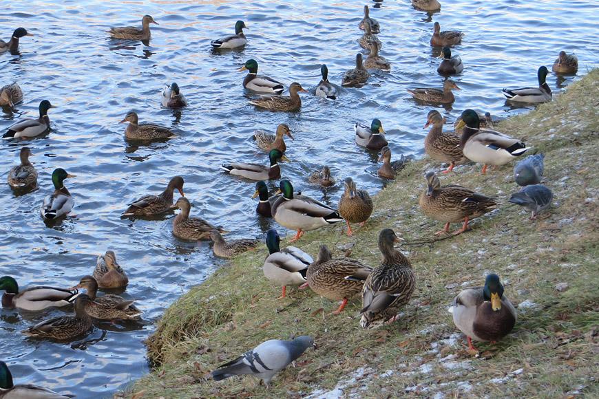 Картинки птиц на озере осенью