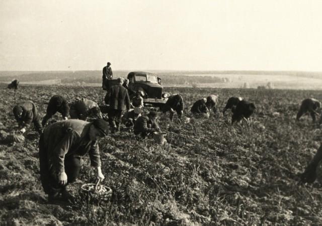 Сельхозпрактика. Уборка урожая в учхозе НСХТ. Помидорная плантация