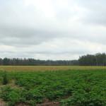 Опытные поля (2)