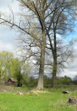 Старые деревья. Людков