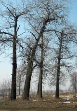 Деревья на заброшенном кладбище